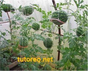 Turado en cultivo de sandia