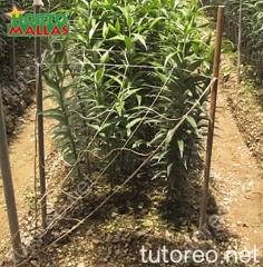 HORTOMALLAS permite a la planta de guiarse naturalmente hacia lo alto apoyándose orgánicamente contra la malla o usando los cuadros de la malla como puntos para enredar sus guias