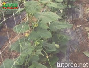 Mejora la calidad en tu cultivo de pepino con la instalación de HORTOMALLAS