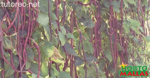 La malla espaldera HORTOMALLAS es ideal para el cultivo de las cucurbitáceas