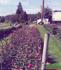 HORTOMALLAS también se puede usar para el cultivo de flores, gracias a la separación de los cuadros de la malla espaldera facilita el corte