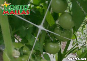Campo de plantas de tomate y malla para tutorear